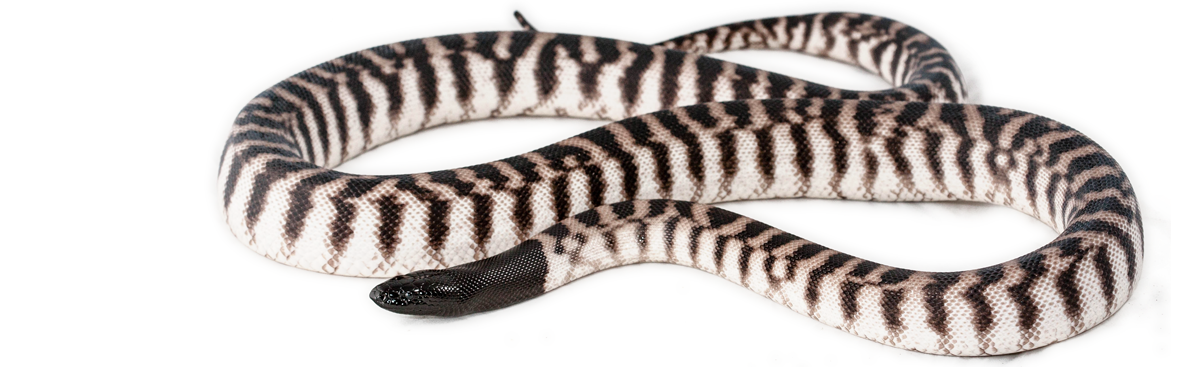 Axanthic Blackheaded Python